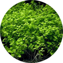 Почвопокровные аквариумные растения