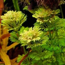 Лимнофила сидячецветковая горшок