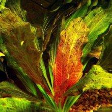 Эхинодорус оцелот красный