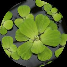 Плавающие аквариумные растения