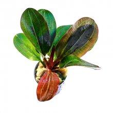 Эхинодорус Хади красный жемчуг меристемное