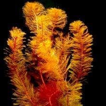 Перистолистник матогросский красный меристемное