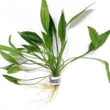Эхинодорус мадаленгенсис меристемное